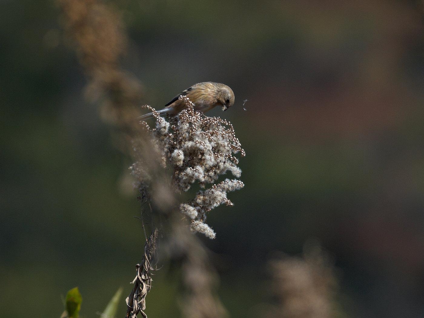 BORG71FLで撮影した野鳥・ベニマシコの写真画像