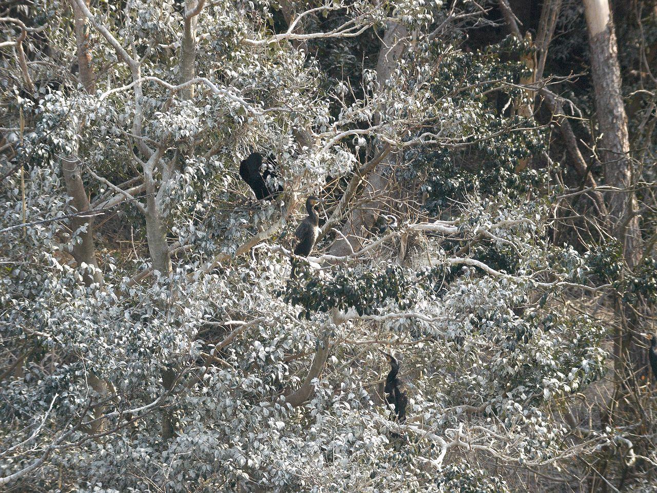 カワウのコロニーの写真画像
