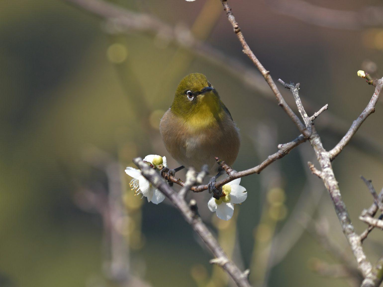 BORG45EDⅡで撮影した野鳥・メジロの写真画像