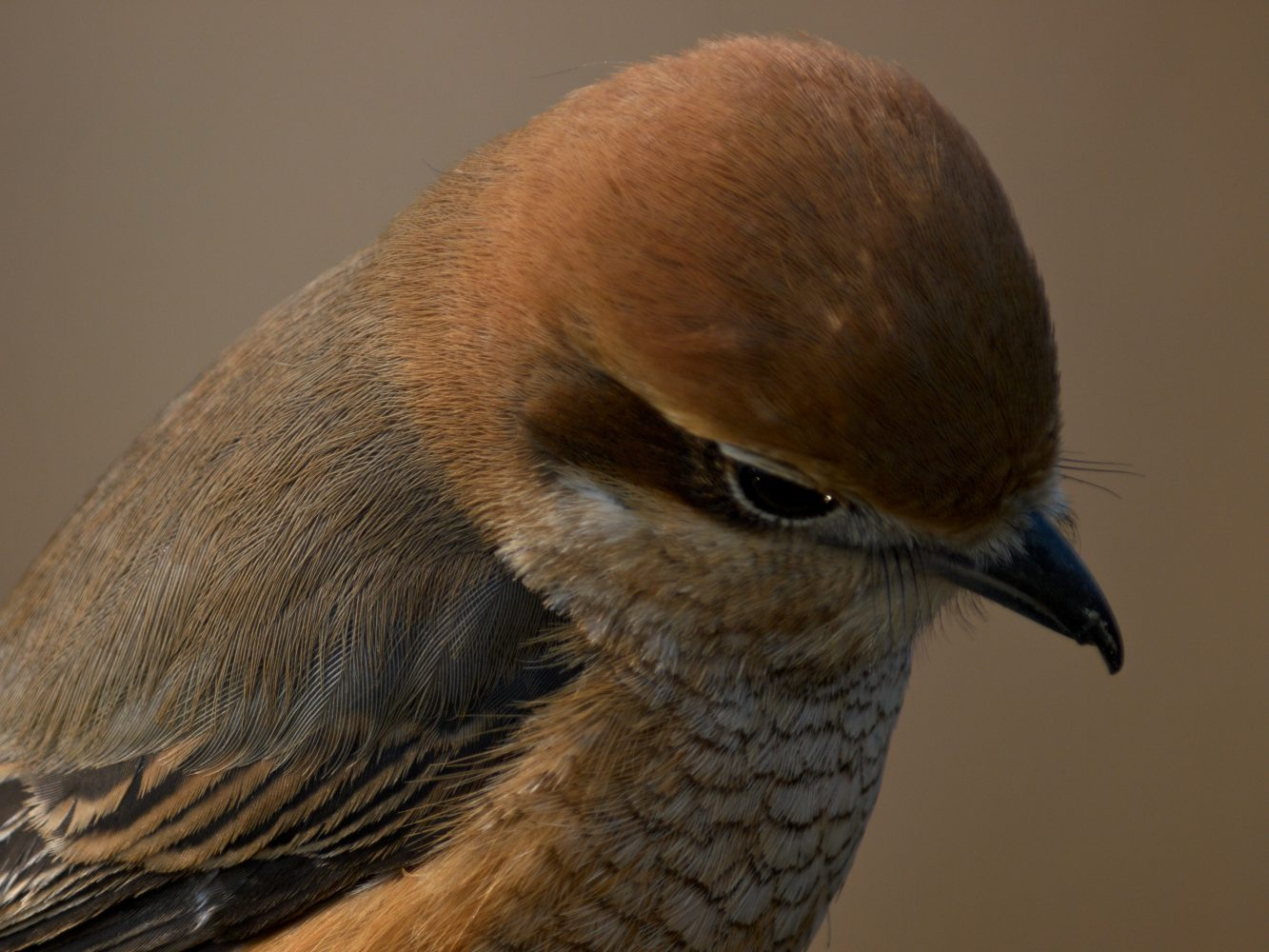 BORG125SDで撮影した野鳥・モズの写真画像