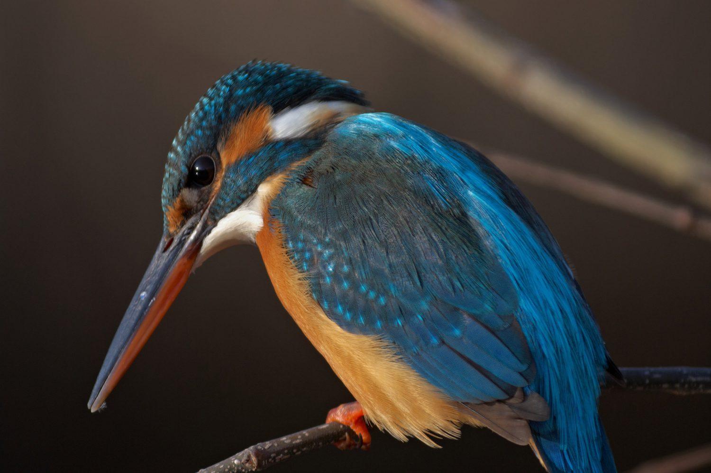 BORG125SDで撮影した野鳥・カワセミの写真画像