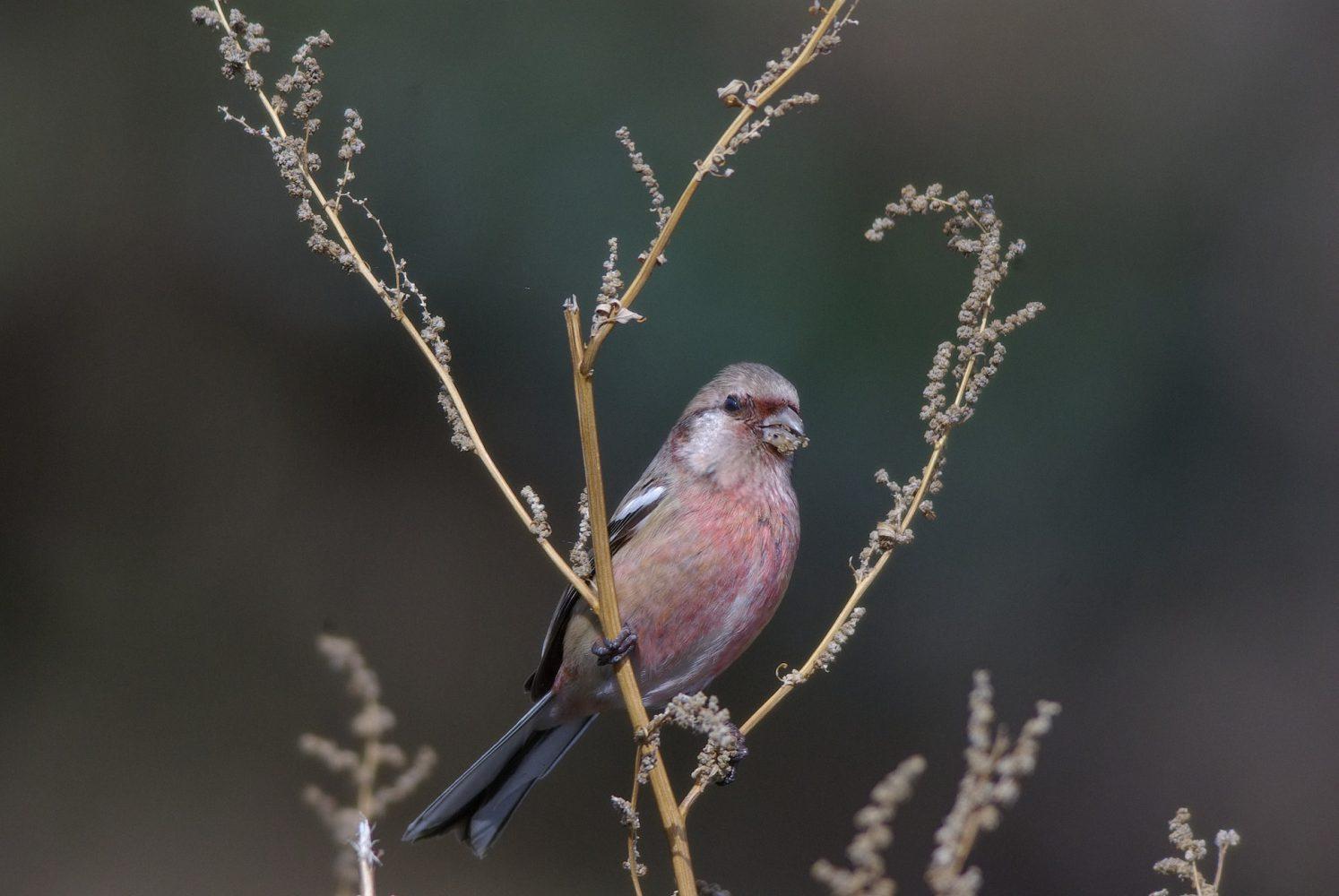 AFボーグ BORG77EDⅡで撮影した野鳥・ベニマシコの写真画像