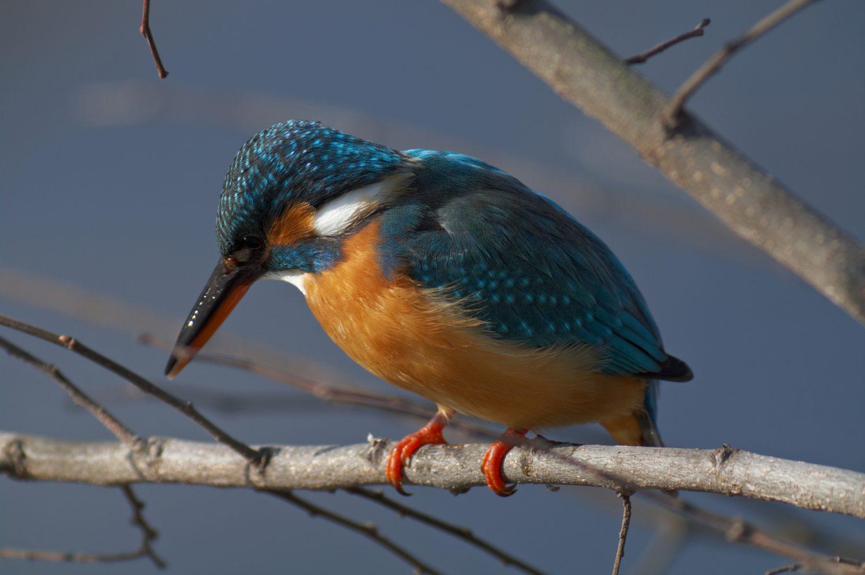BORG101EDで撮影した野鳥・カワセミの写真画像