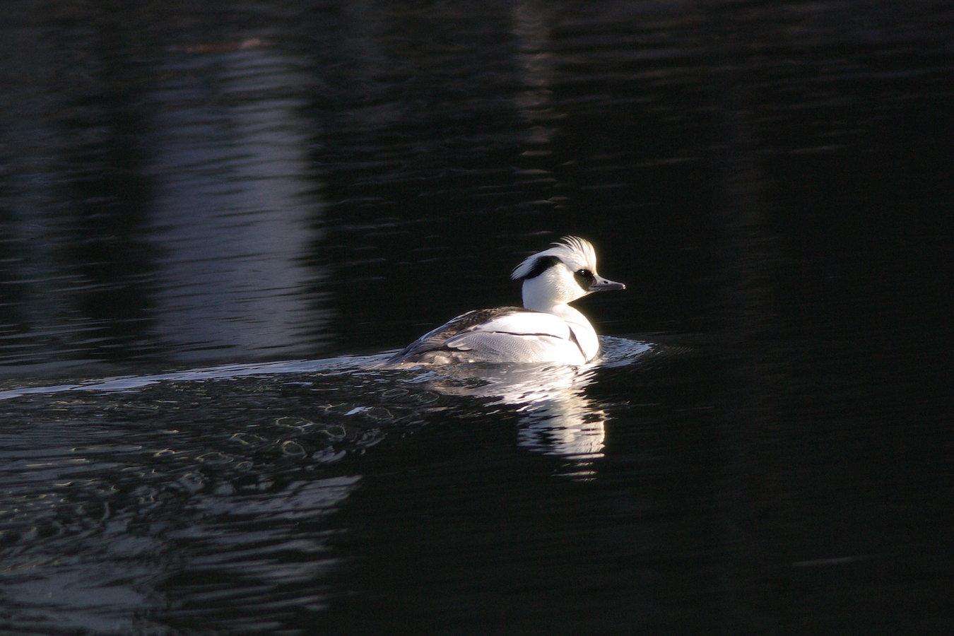 AFボーグ BORG77EDⅡで撮影した野鳥・ミコアイサの写真画像
