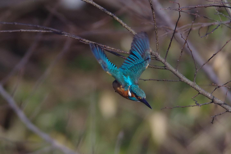 AFボーグ BORG71FLで撮影した野鳥・カワセミの飛翔写真画像