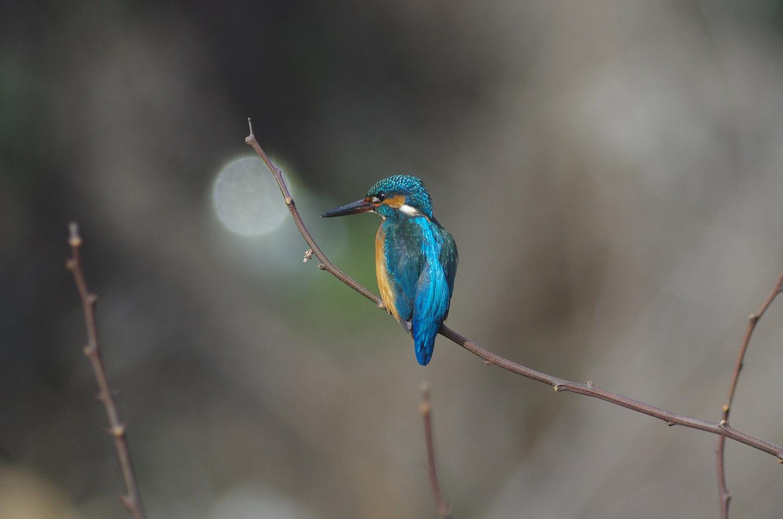 AFボーグ BORG77EDⅡで撮影した野鳥・カワセミの写真画像