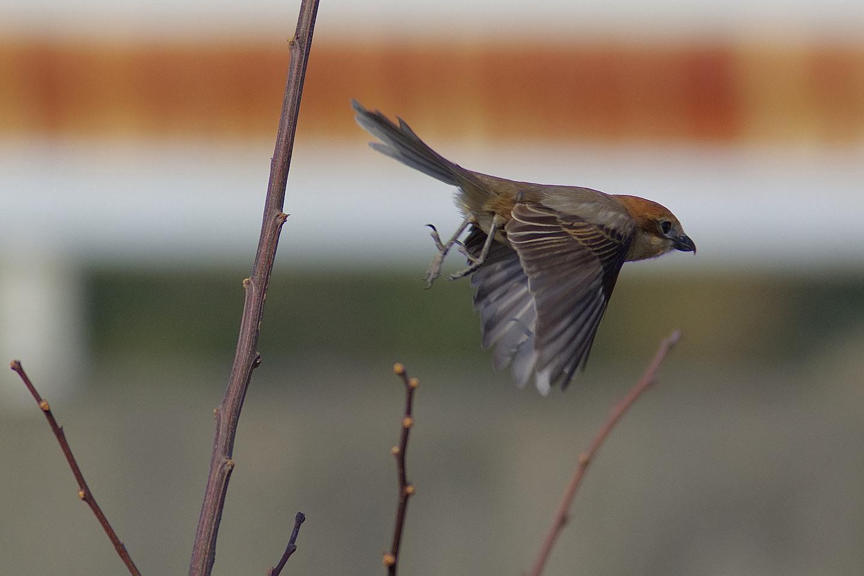 AFボーグ BORG60EDで撮影した野鳥・モズの写真画像