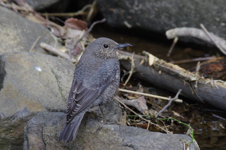 AFボーグ BORG71FLで撮影した野鳥・イソヒヨドリの写真画像