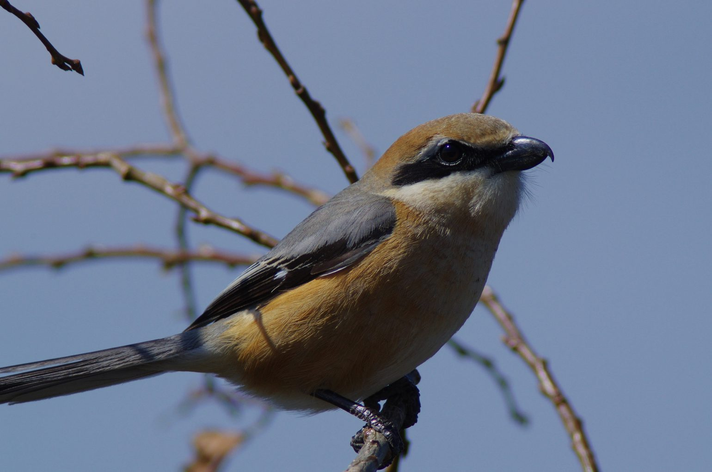 AFボーグ BORG101EDで撮影した野鳥・モズの写真画像
