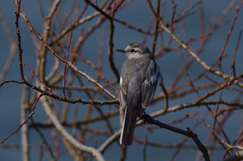 AFボーグ BORG101EDで撮影した野鳥・ハクセキレイの写真画像