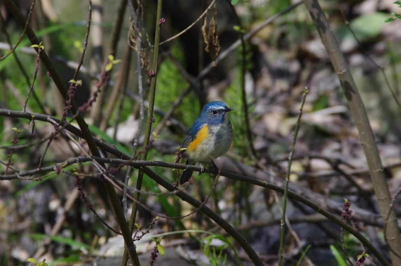 BORG71FLで撮影した野鳥・ルリビタキの写真画像