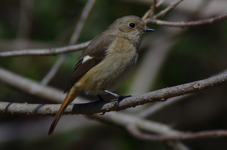 AFボーグ BORG101EDで撮影した野鳥・ジョウビタキの写真画像
