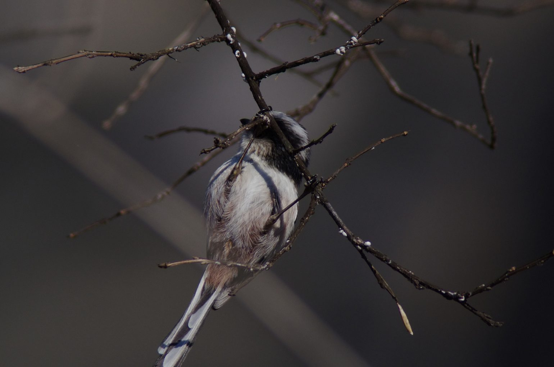AFボーグ BORG101EDで撮影した野鳥・エナガの写真画像