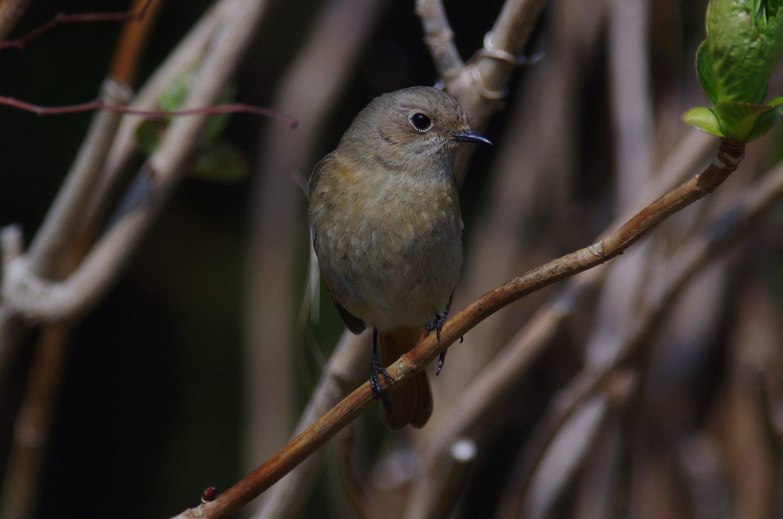 AFボーグ BORG77EDⅡで撮影した野鳥・ジョウビタキの写真画像