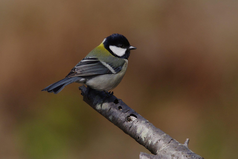 AFボーグ BORG71FLで撮影した野鳥・シジュウカラの写真画像