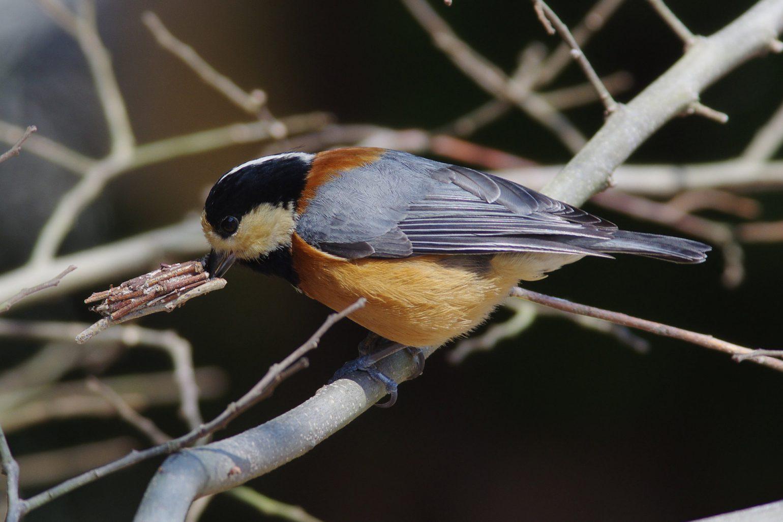 AFボーグ BORG71FLで撮影した野鳥・ヤマガラの写真画像