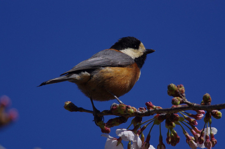 BORGで撮影した野鳥・ヤマガラの写真画像