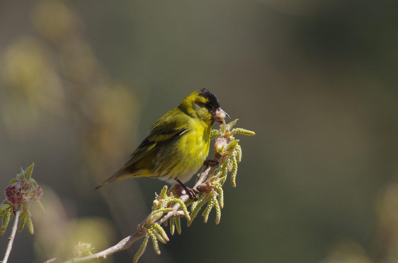 BORGで撮影した野鳥・マヒワの写真画像