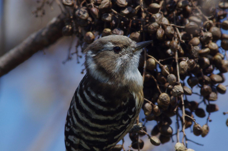 BORGで撮影した野鳥・コゲラの写真画像