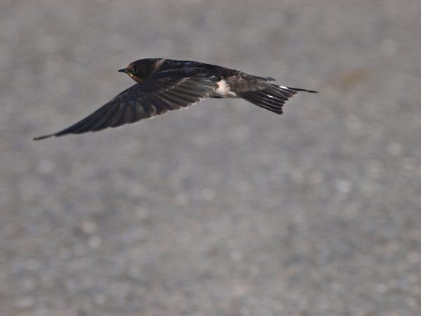 ツバメ飛翔写真
