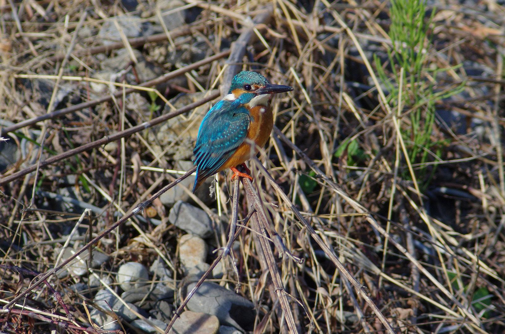 AFボーグ BORG101EDで撮影した野鳥・カワセミの写真画像