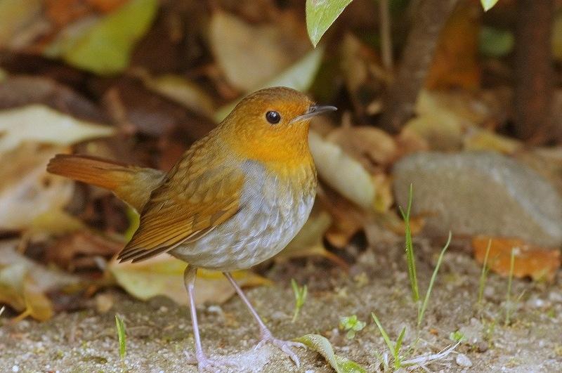 BORG77EDⅡで撮影した野鳥・コマドリの写真画像