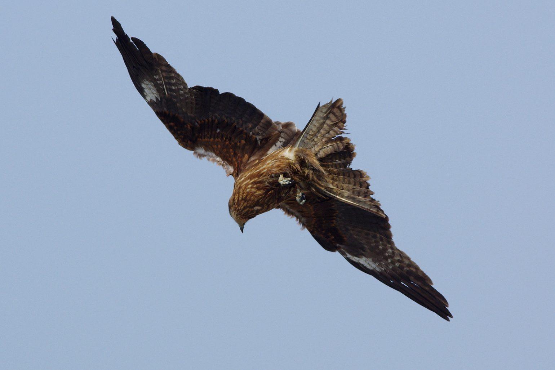 AFボーグ BORG45EDⅡで撮影した野鳥・トンビの写真画像