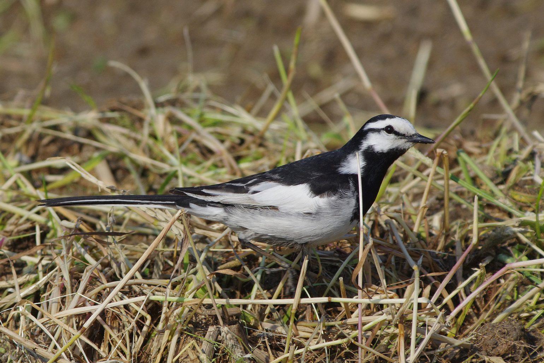 AFボーグ BORG45EDⅡで撮影した野鳥・セグロセキレイの写真画像