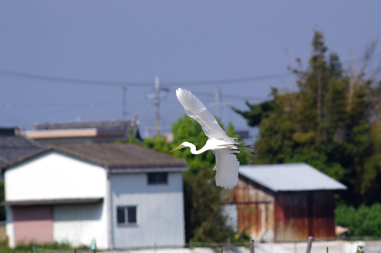 AFボーグ BORG45EDⅡで撮影した野鳥・シラサギの写真画像