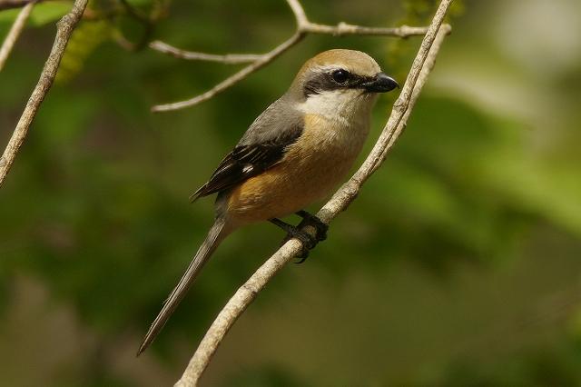 BORGで撮影した野鳥・モズの写真画像