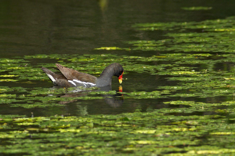 AFボーグ BORG101EDで撮影した野鳥・バンの写真画像