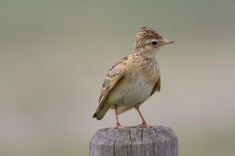 AFボーグ BORG71FLで撮影した野鳥・ヒバリの写真画像
