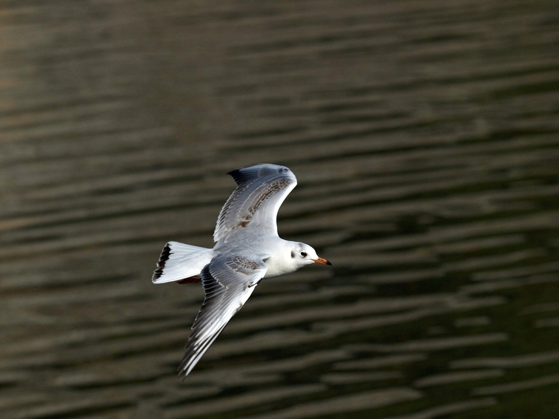BORG50FLで撮影した野鳥・カモメの写真画像