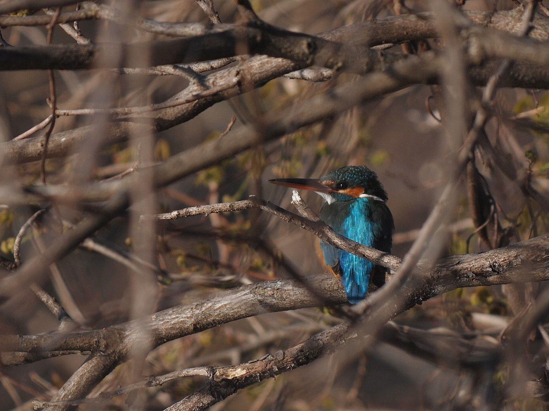 BORG45EDⅡで撮影したカワセミの野鳥写真画像
