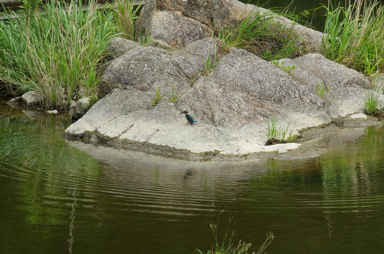 カワセミの写真画像