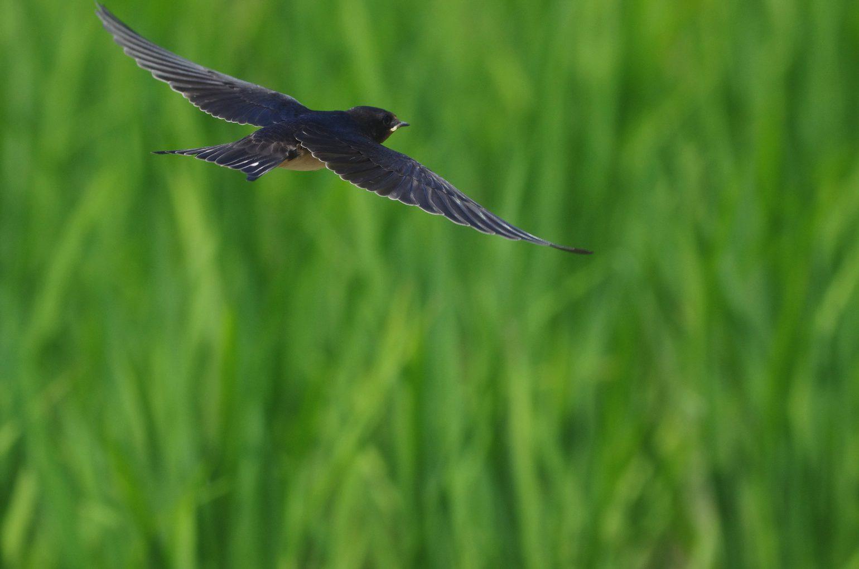 BORG50FLで撮影したツバメの飛翔写真画像