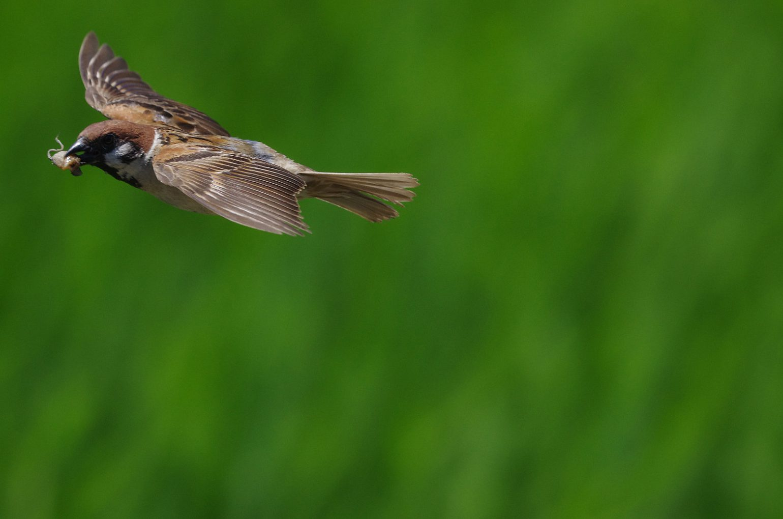 BORG50FLで撮影したスズメ飛翔写真画像