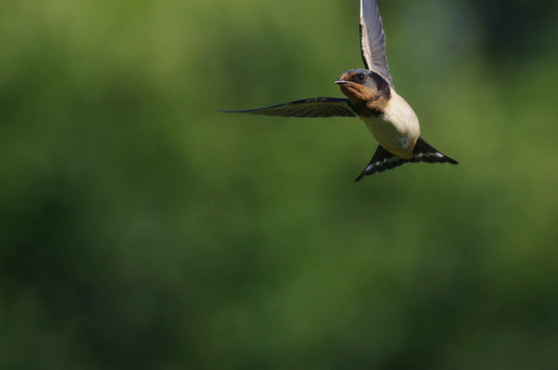 BORG50FLで撮影した野鳥・ツバメの写真画像