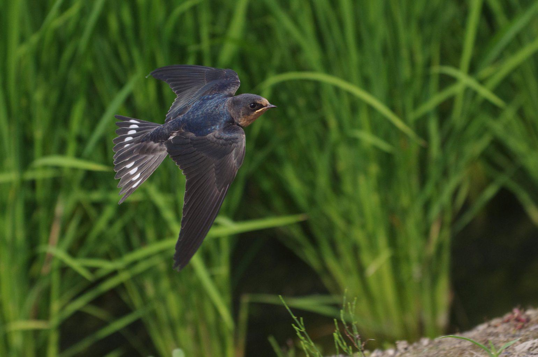 BORG45EDⅡで撮影したツバメの幼鳥の飛翔写真画像