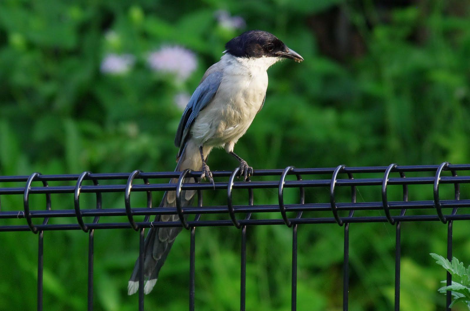 AFボーグ BORG50FLで撮影した野鳥・オナガの写真画像