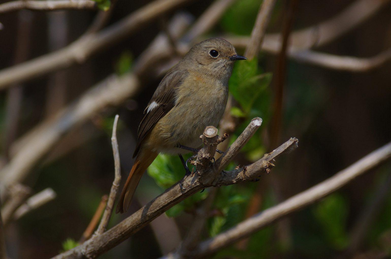 AFボーグ BORG77EDⅡで撮影したジョウビタキの野鳥写真画像