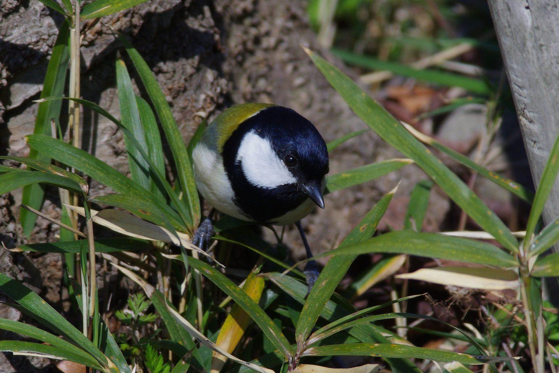 BORGで撮影した野鳥・シジュウカラの写真画像