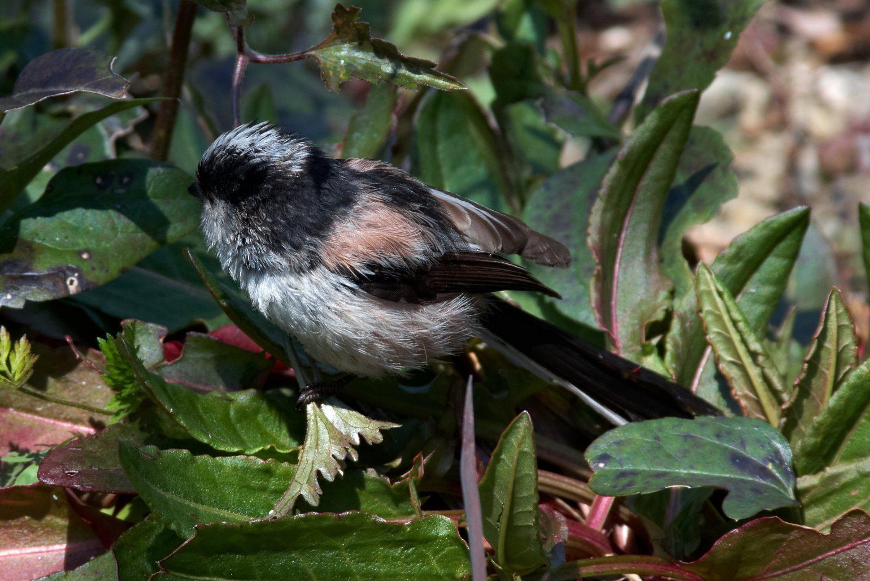 BORGで撮影した野鳥・エナガの写真画像