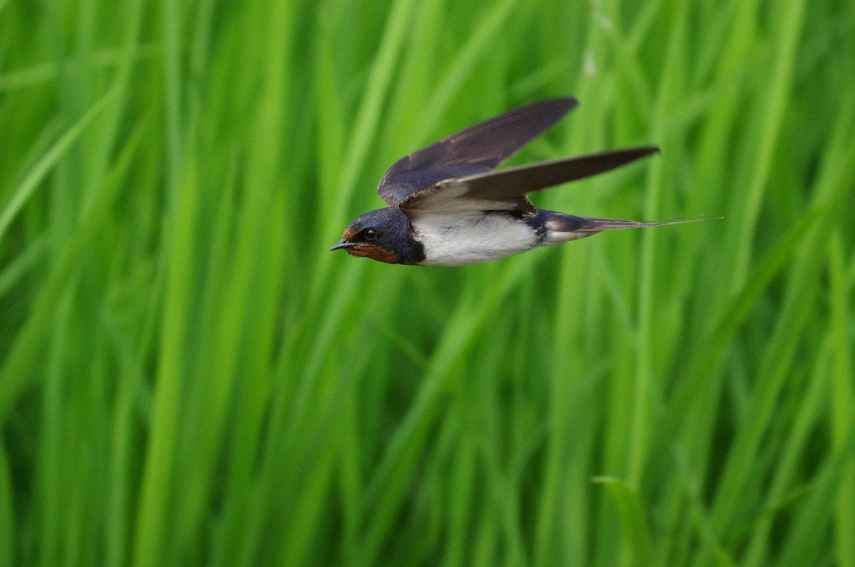 BORG45EDⅡで撮影したツバメの飛翔写真画像