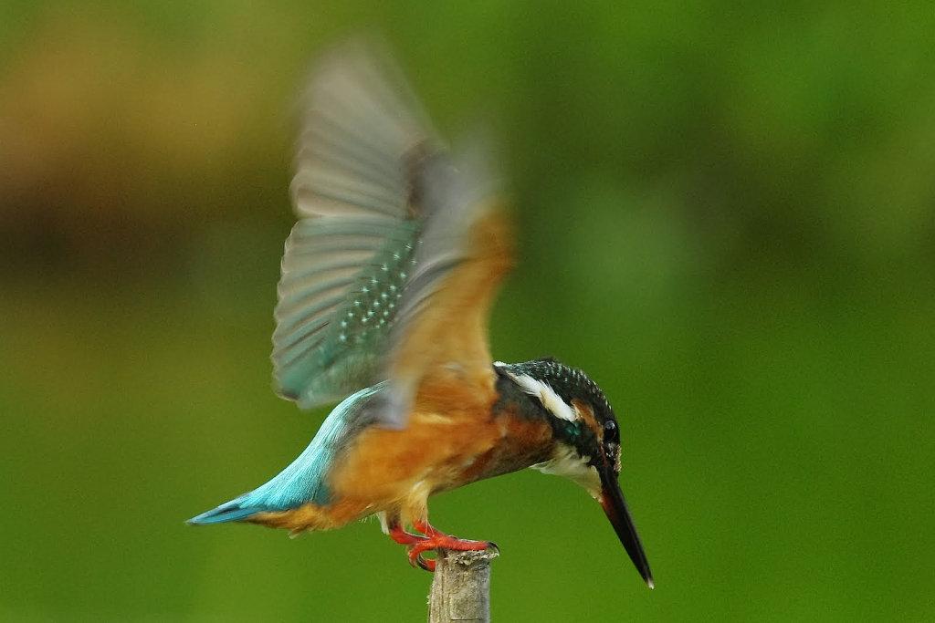 AFボーグ BORG50FLで撮影した野鳥・カワセミの写真画像