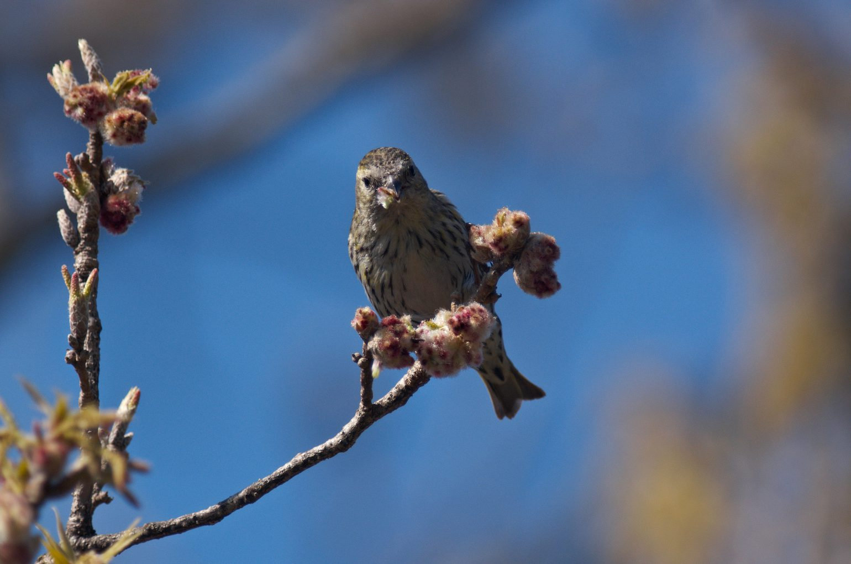 AF BORG BORG77EDⅡで撮影した野鳥・マヒワの写真画像