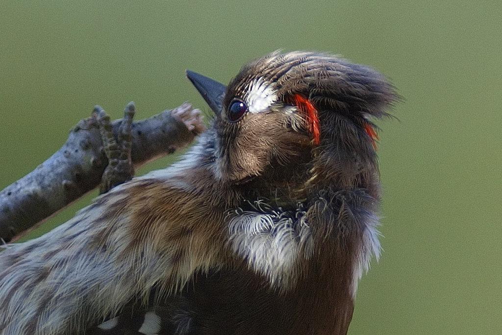 BORG125SDで撮影した野鳥・コゲラの写真画像