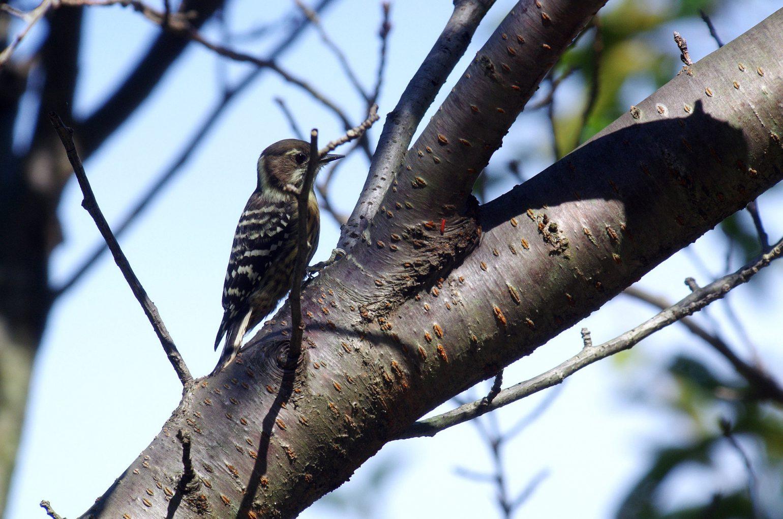 BORG50FLで撮影した野鳥・コゲラの写真画像