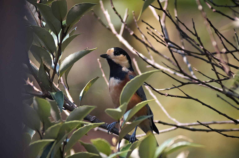 AFボーグ BORG77EDⅡで撮影した野鳥・ヤマガラの写真画像