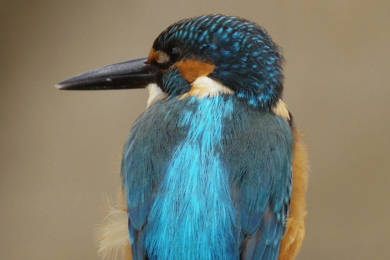 AFボーグ BORG71FLで撮影した野鳥・カワセミの写真画像